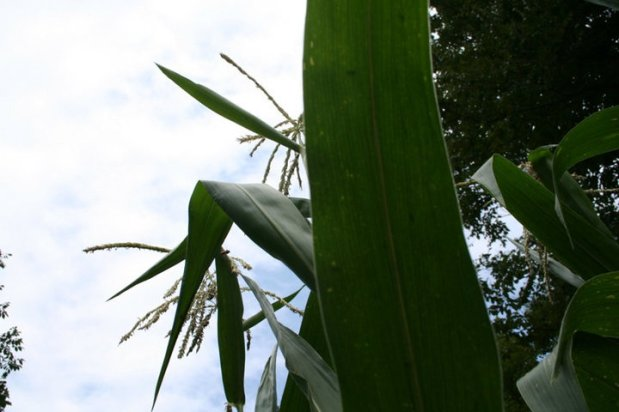 Image of Corn plants against the sky