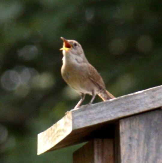 Singing Wren cropped