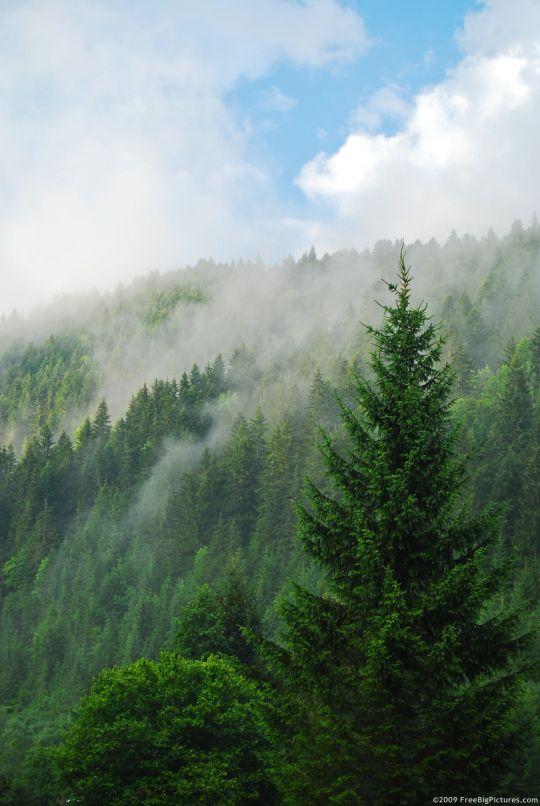coniferous-trees