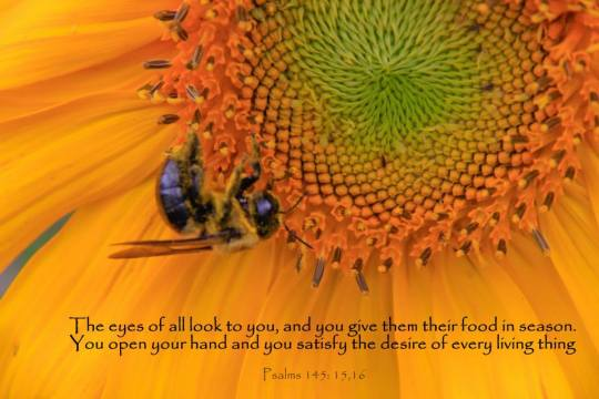 image of Sunflower with Ps 145:15,16 caption