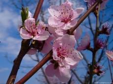 peach-flowers-230x172