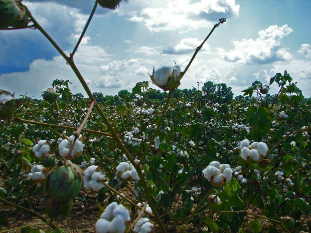 cotton field.jpg