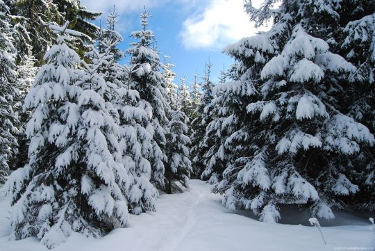 white-firs